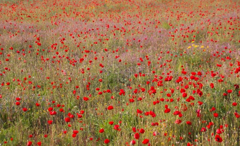 Pavots dans le domaine de pavot Bonjour ressort, paysage méditerranéen de ressort, fond rural photos libres de droits