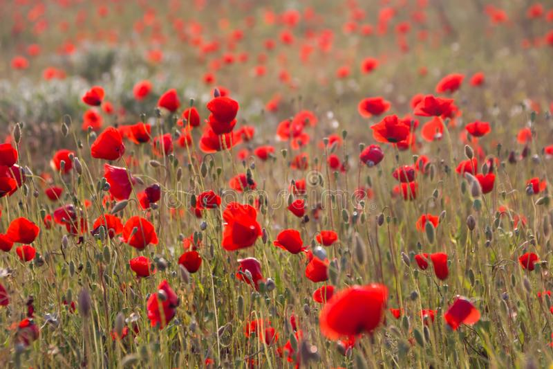 Pavots dans le domaine de pavot Bonjour ressort, paysage méditerranéen de ressort, fond rural photo libre de droits