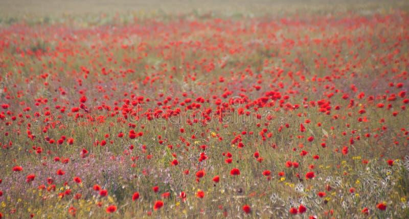 Pavots dans le domaine de pavot Bonjour ressort, paysage méditerranéen de ressort, fond rural photo stock