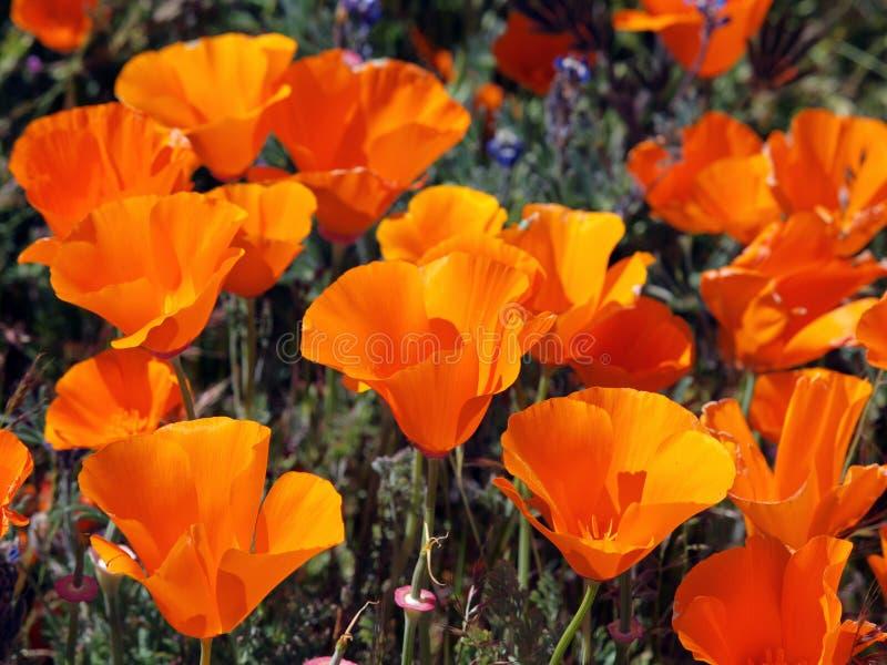 Pavots de Californie images libres de droits