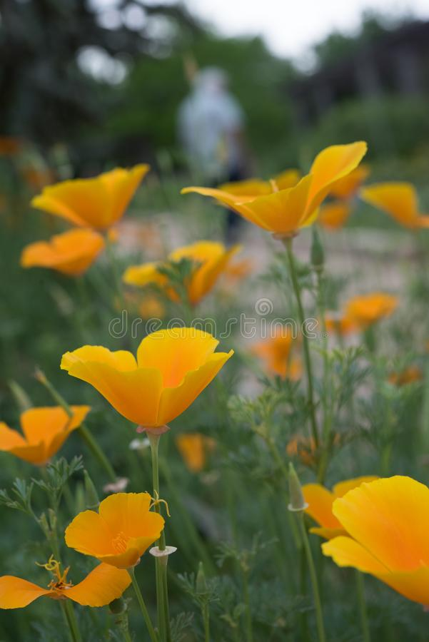 Pavots de Californie au soleil photographie stock