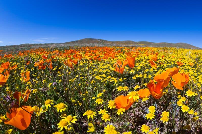 Pavots de Californie - californica d'Eschscholzia images stock