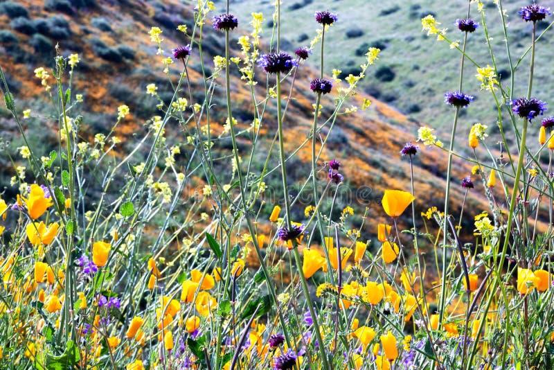 Pavots de Californie d'or vifs vibrants oranges lumineux, plantes originaire de ressort saisonnier, fin des wildflowers pourpres  image libre de droits