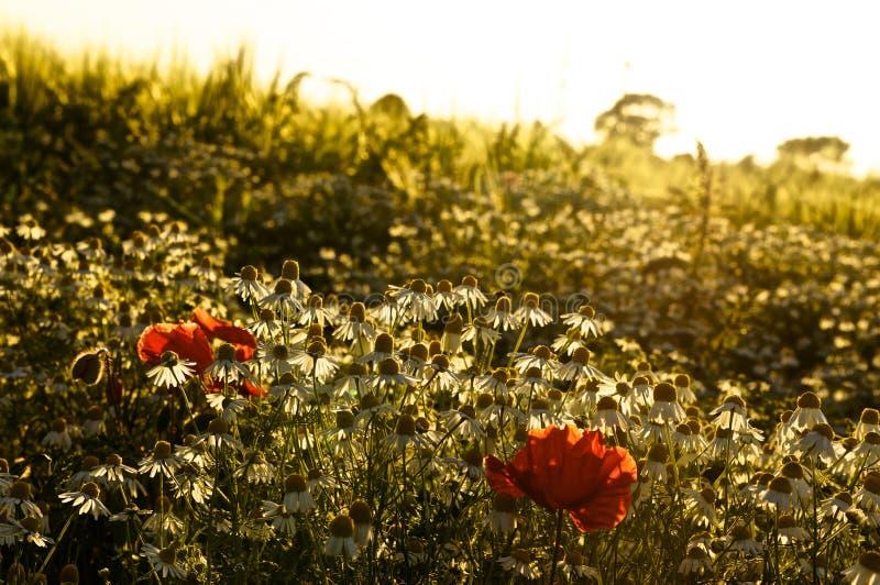Pavots de coucher du soleil photo stock