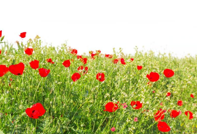 Pavots de floraison photos stock