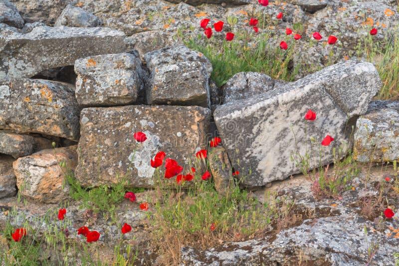 Pavots de floraison photos libres de droits