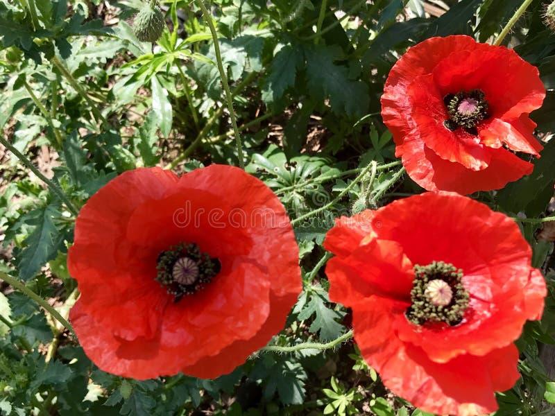 Pavots de Wildflower d'été de jardin photographie stock