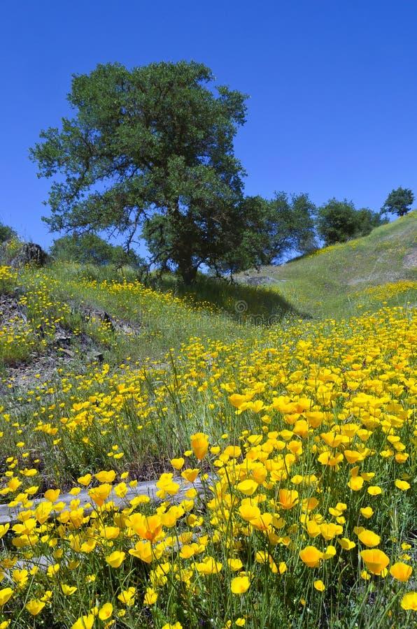 Pavots et chênes de Californie image libre de droits