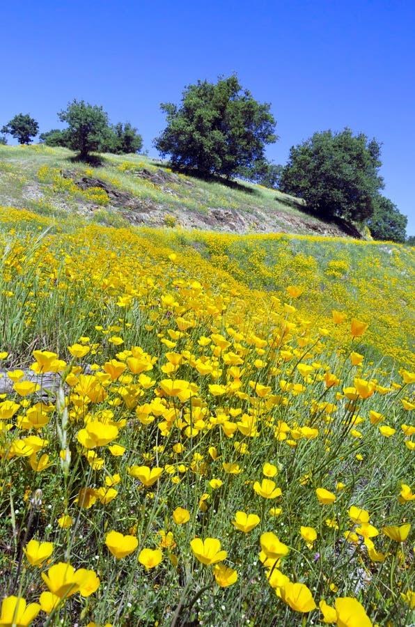 Pavots et chênes de Californie photos libres de droits