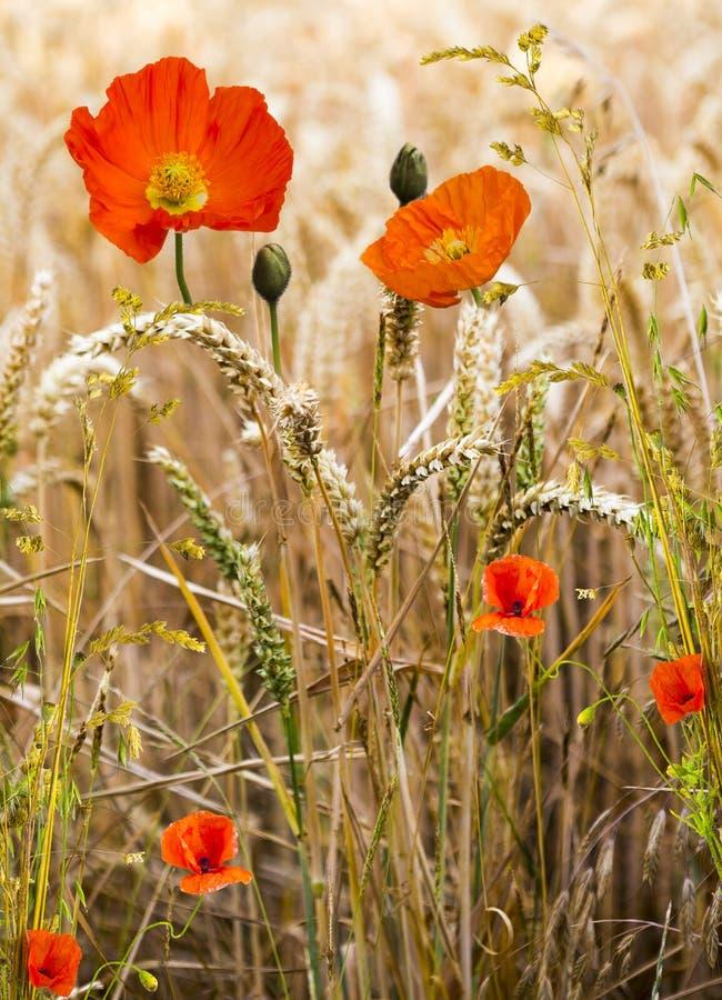 Pavots et champ de maïs photo libre de droits