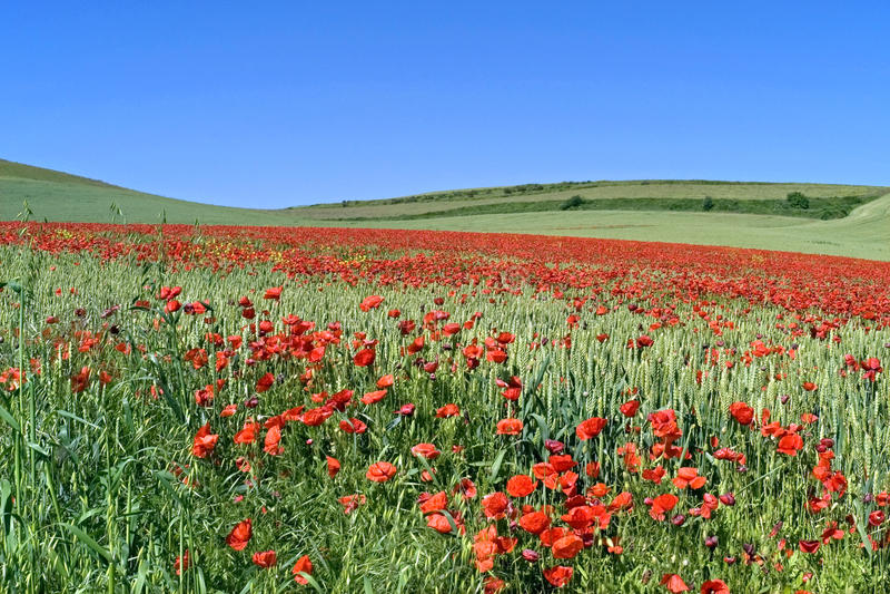 Pavots fleurissants dans le domaine de blé photo stock