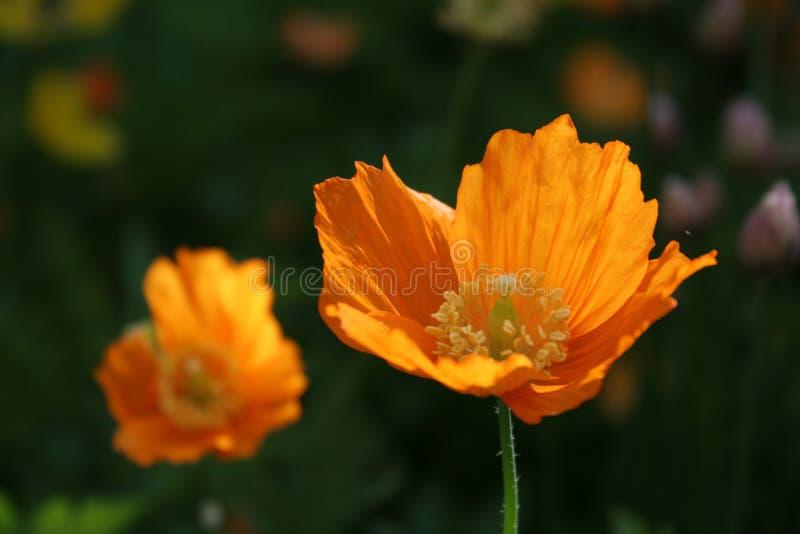 Pavots oranges images stock