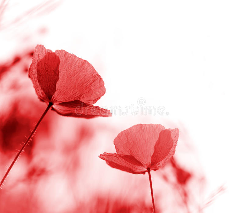 Pavots rouges images stock