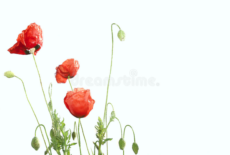 Pavots rouges photo stock
