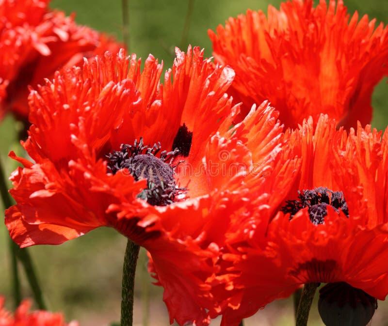 Pavots rouges brillants images stock