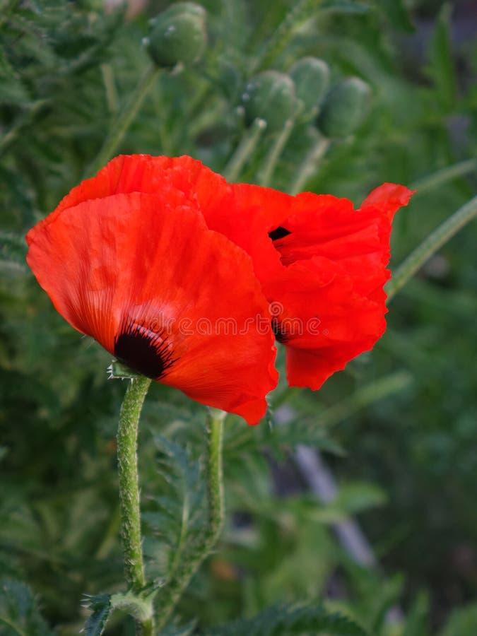 Pavots rouges dans le jardin photo stock