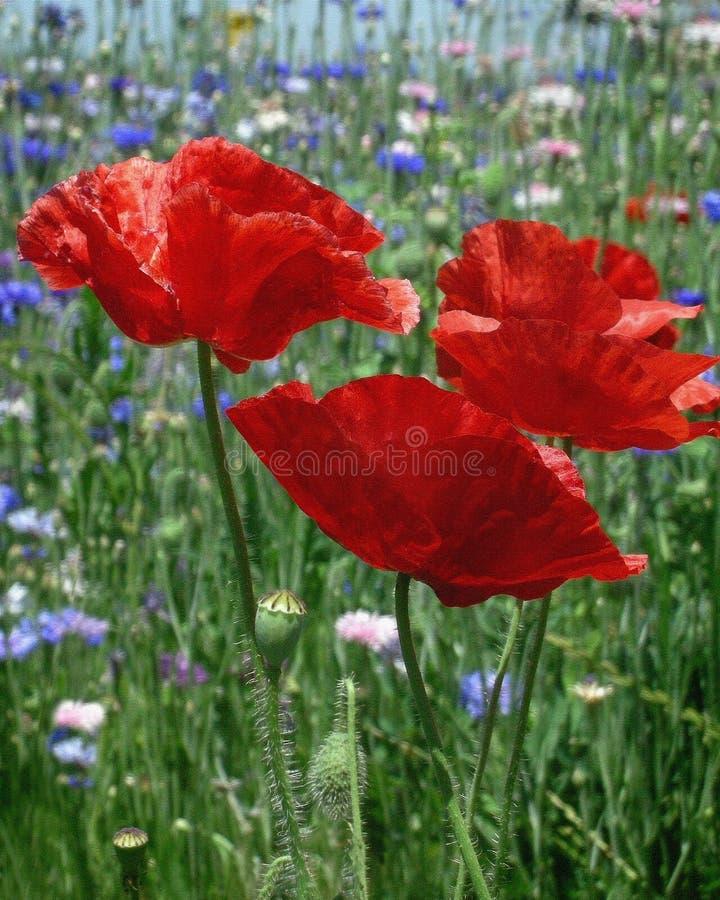 Pavots rouges dans le premier plan des wildflowers photos libres de droits