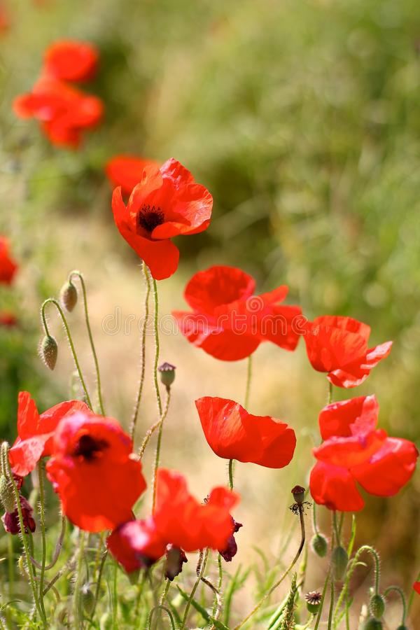 Pavots rouges dans Poppy Fields sauvage image stock