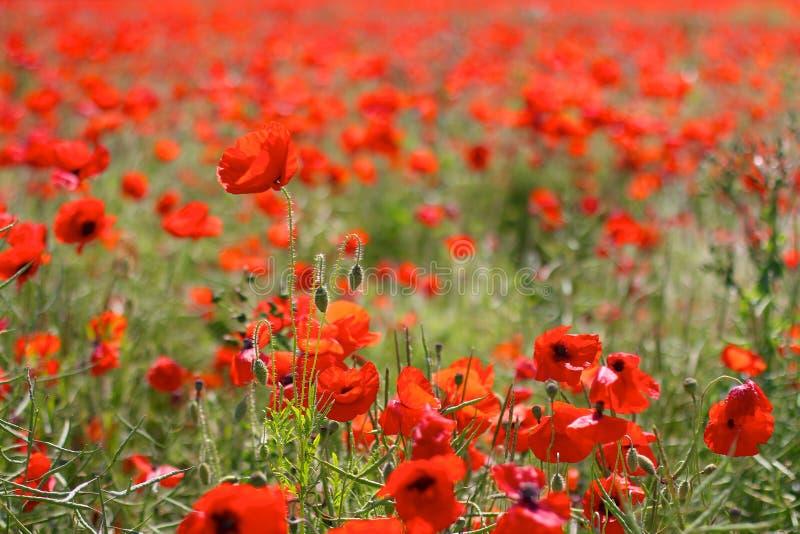Pavots rouges dans Poppy Fields sauvage image libre de droits
