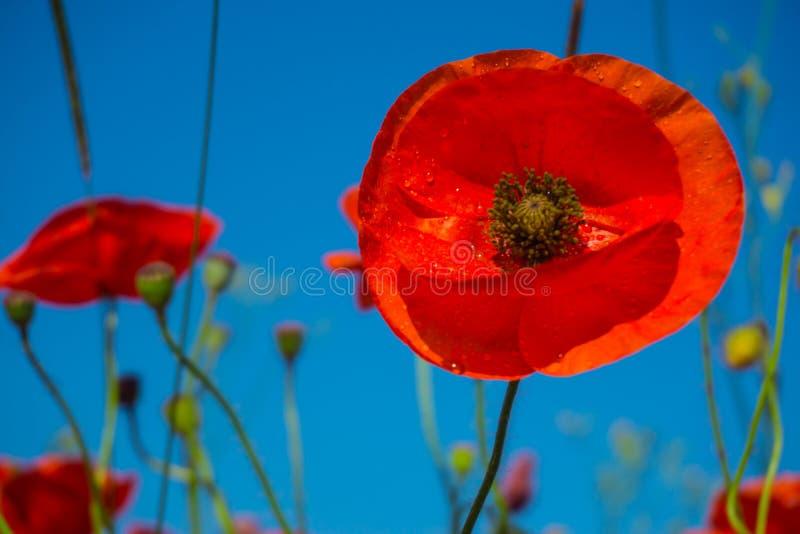Pavots rouges de beau champ avec le foyer sélectif Pavot à opium Drogues naturelles photos libres de droits