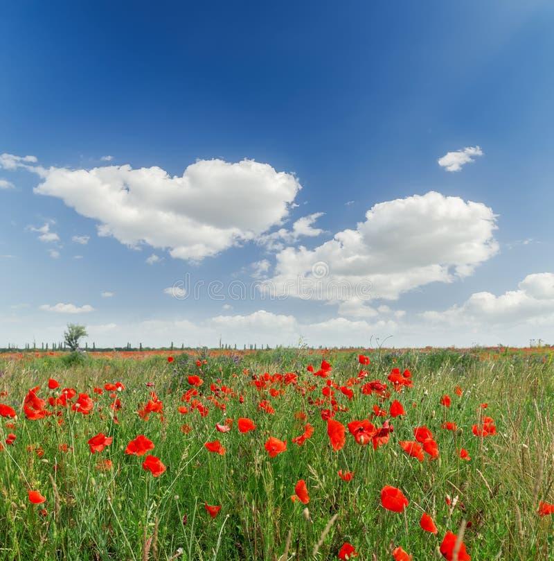 Pavots rouges en champ vert et ciel bleu avec des nuages photos stock