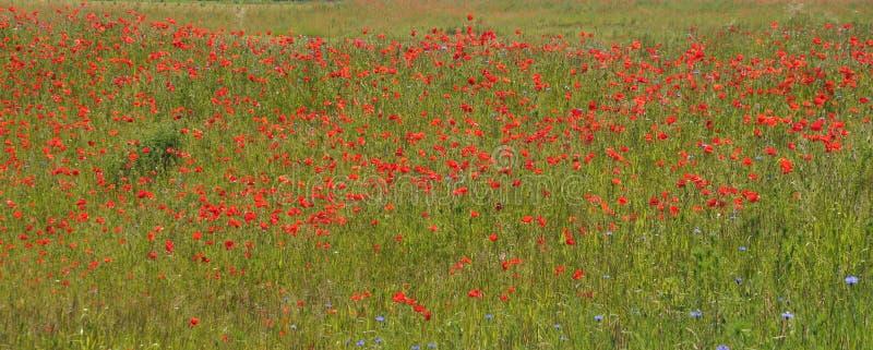 Pavots rouges et bleuets bleus dans un pré photo libre de droits