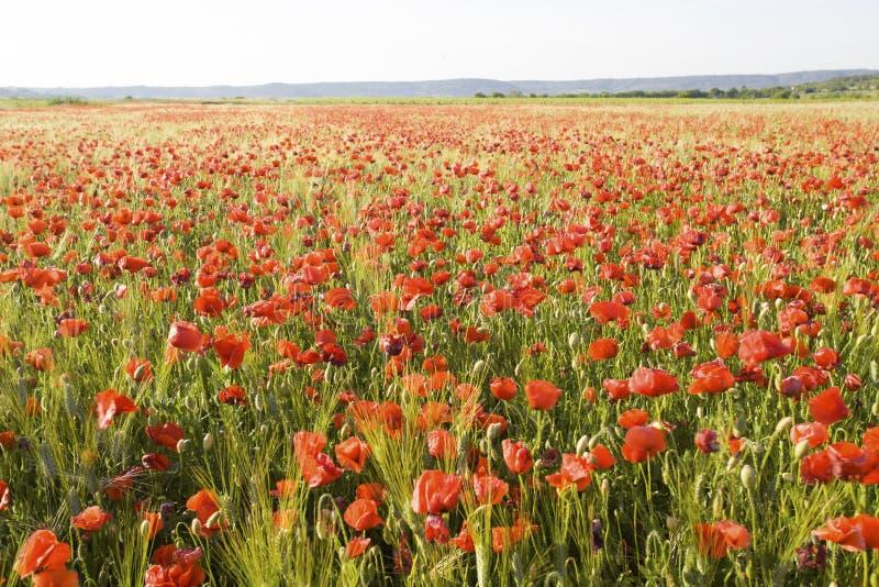 Pavots rouges sauvages d'été dans le domaine de blé photo libre de droits