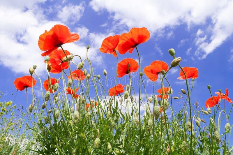 Pavots rouges sur un fond de ciel bleu avec les nuages blancs image libre de droits