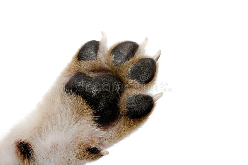 Paw. Close-up picture of dog paw - great footprints
