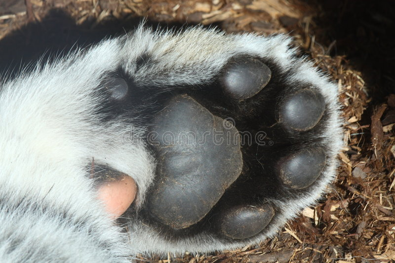 paw of baby tiger stock images