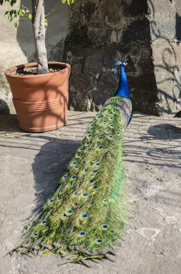 Paw Indiański dziki pawi Pavo cristatus zdjęcie stock