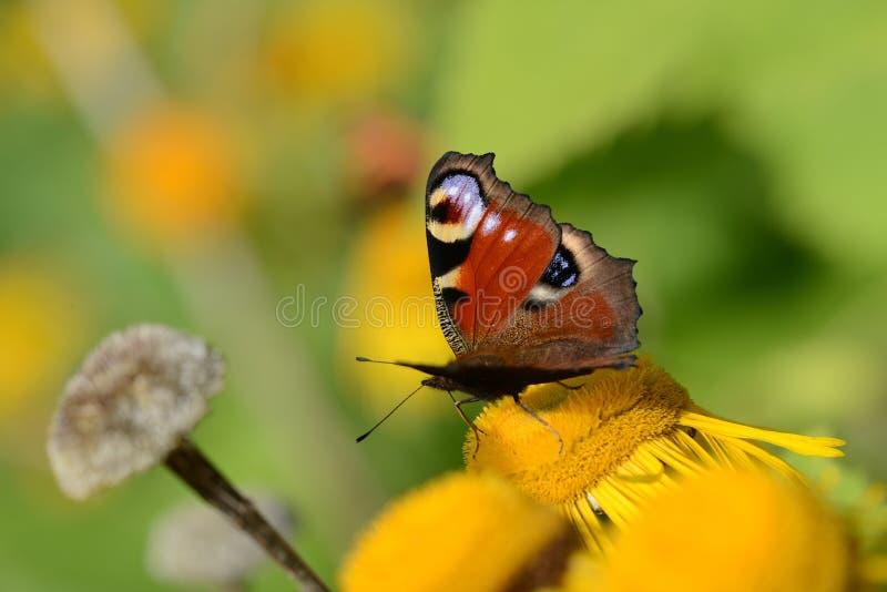 Paw na żółtym kwiacie kolor żółty jest spokojnego jutrzenkowej rosy kwiatu świeżym makro- natury część fotografii podeszczowej wo zdjęcie stock