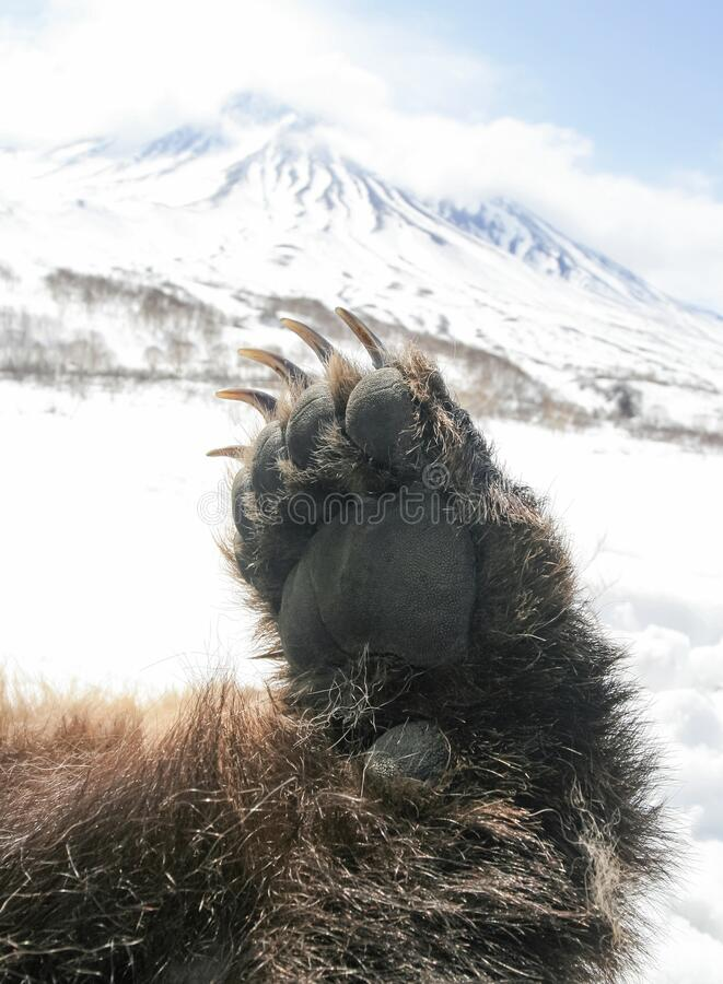 Free Paw Of A Large Bear With Long Claws On The Background Of A Snow-covered Mountain Stock Photos - 207377203