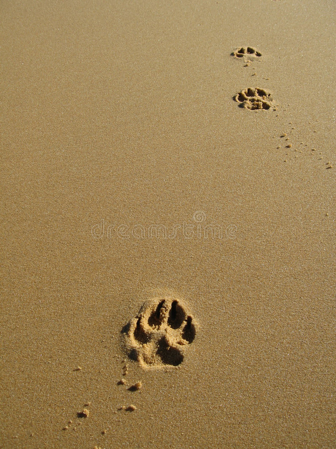 Paw Prints in Sand stock image