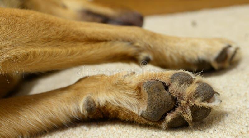 Paw of Sleeping Kelpie Dog. A close-up photo of the paw of a sleeping Kelpie dog stock images
