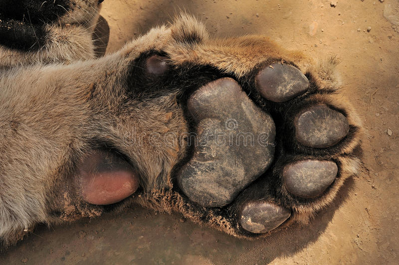 Paw of Tiger stock photography