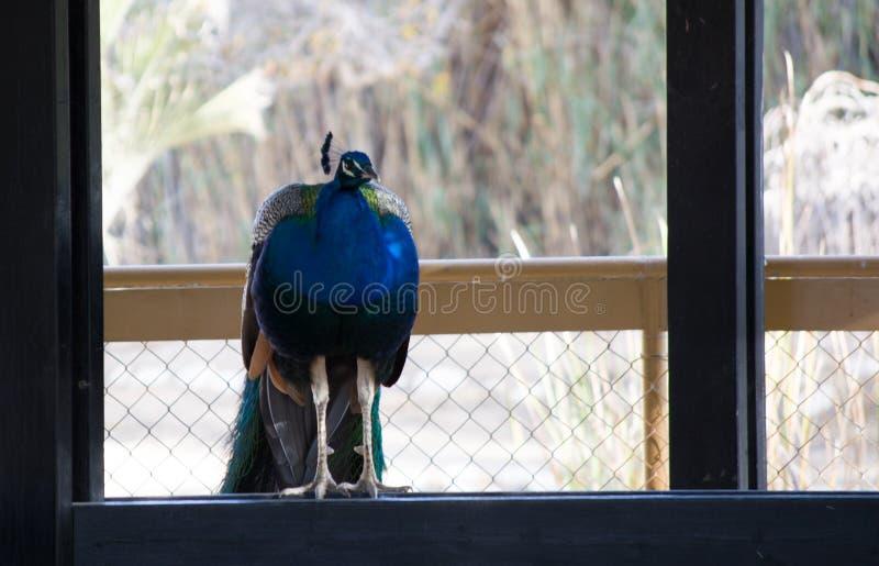Paw z otwartym kolorowym ogonem Piękny paw wystawia jego upierzenie piórek paw obraz royalty free