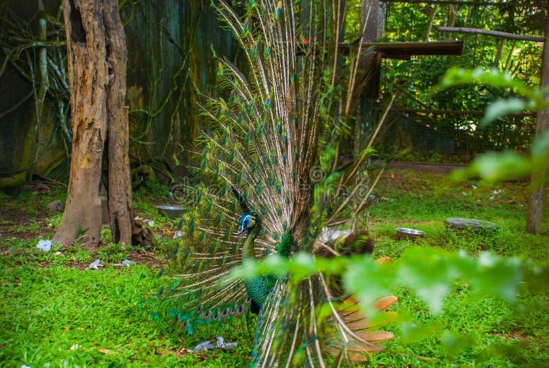 Paw Zamyka up paw pokazuje swój pięknych piórka paw piękna Męski paw wystawia jego ogonów piórka spread zdjęcie stock