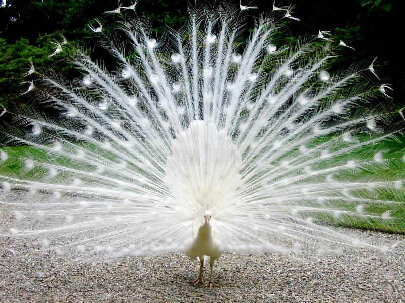 pawi biel zdjęcie royalty free