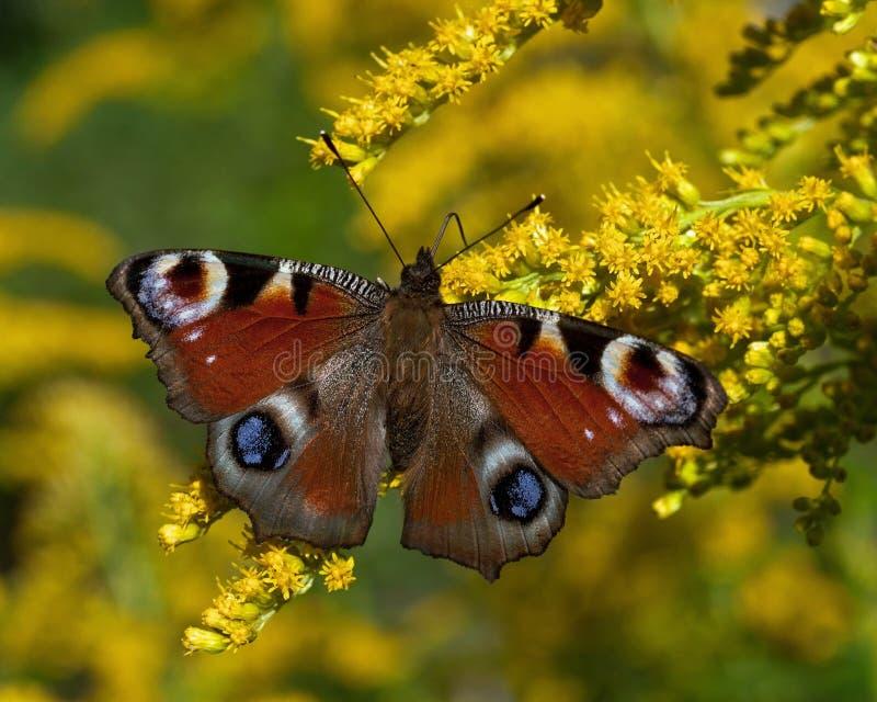Pawi motyl io w lecie na kwiacie lub Inachis zdjęcia stock