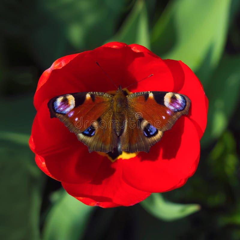 Pawi motyl odpoczywa na czerwonym Tulipanowym kwiacie na zielonym zamazanym tle dzie? sunny lato Makro- fotografia, odgórny widok zdjęcie stock