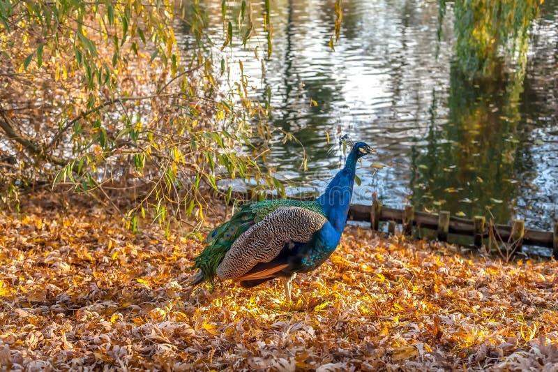 Pawi odprowadzenie na brzeg jezioro w parku obraz royalty free