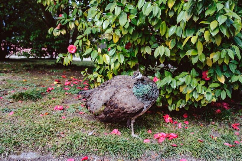 Pawi odprowadzenie w pięknym Jardins robi Palacio De Cristal, Porto, Portugalia zdjęcie stock