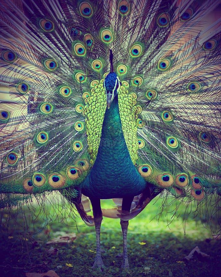 pawi piękni kolorowi piórka zdjęcie stock