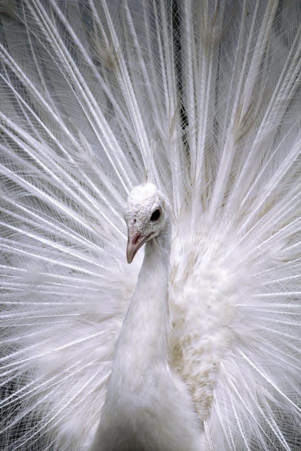 Pawi plakat piękny dorosłej samiec biały paw w wszystkie swój finery - portret - zdjęcia stock
