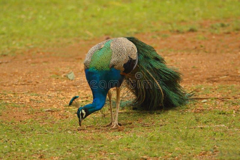 Pawi ptak fotografia stock