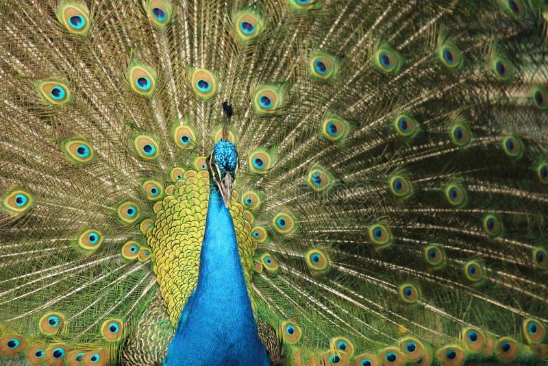Pawi ptak w Santa Cruz obraz royalty free