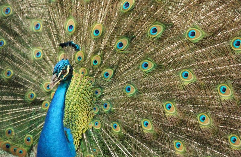 Pawi ptak w Santa Cruz obrazy royalty free