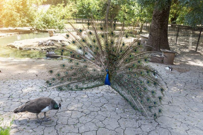 Pawi taniec przed kobietą, koperczaki, zoologiczny ogród Krajowej rezerwy nowa, Ukraina obraz stock