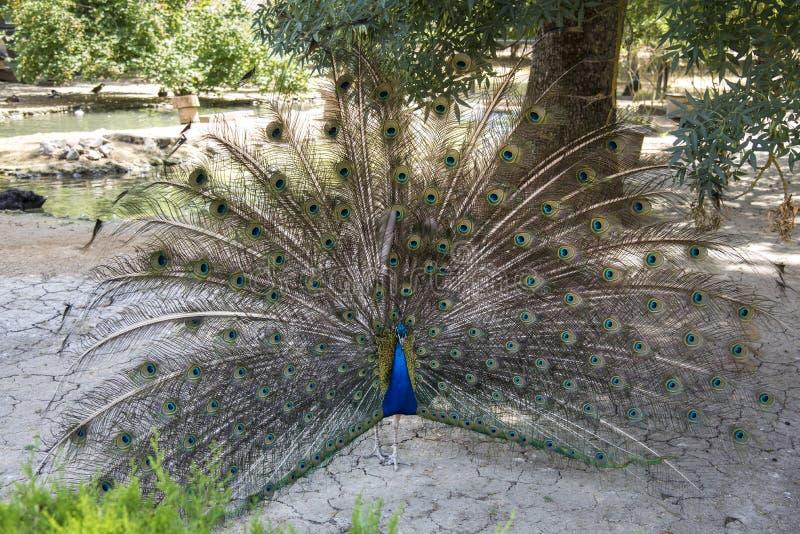 Pawi taniec, zoologiczny ogród Krajowej rezerwy nowa, Ukraina zdjęcie royalty free
